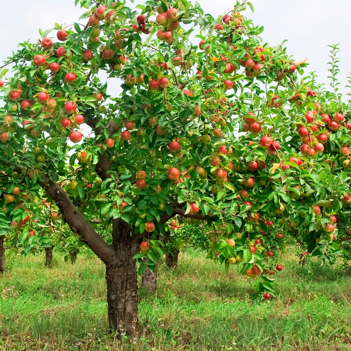 apple-tree-with-fruit1